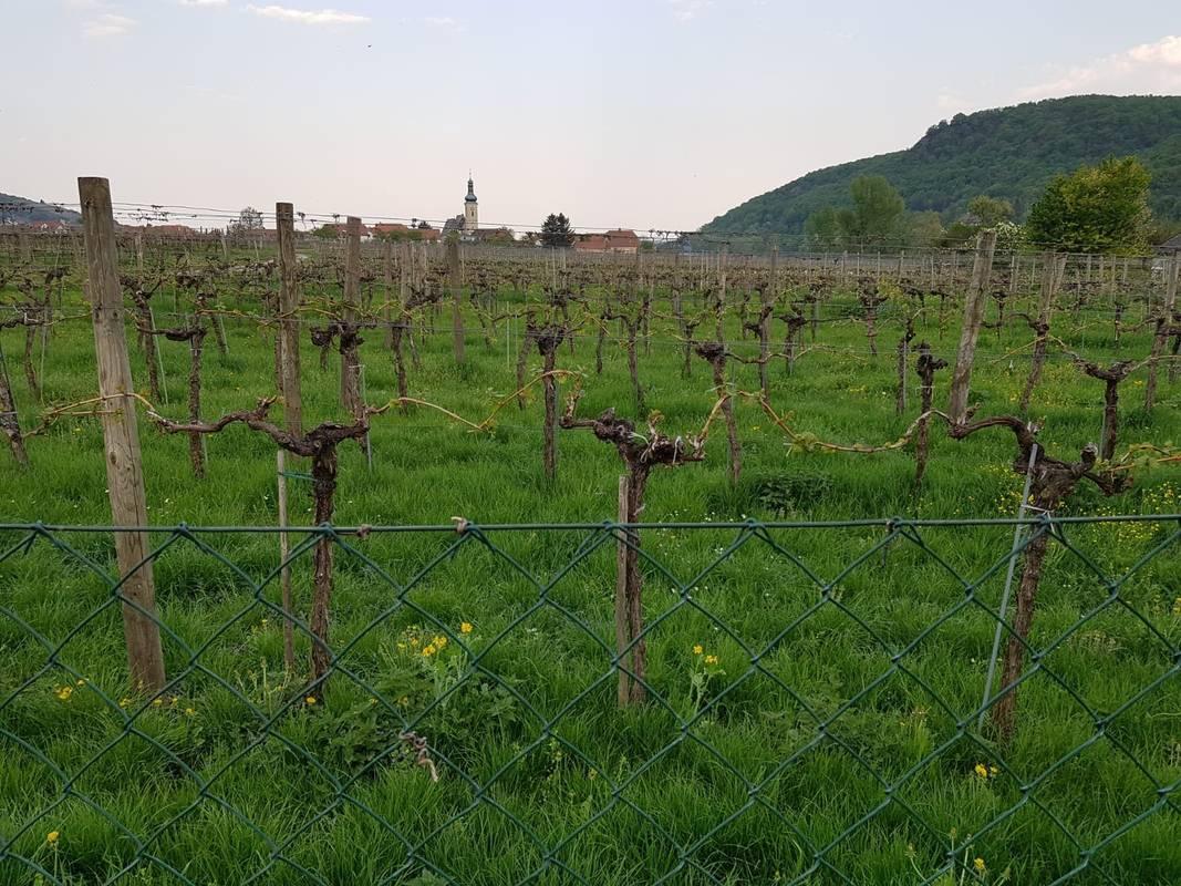 Weingarten mit Blick nach Loiben