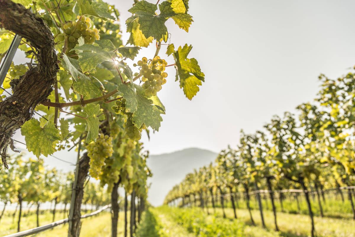 Weinreben rund um Weißenkirchen