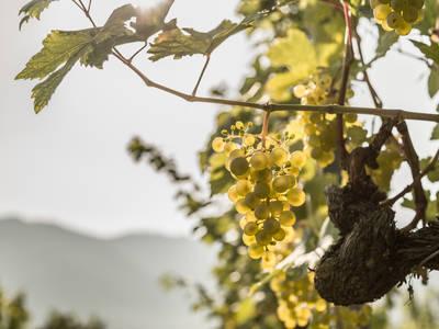 Weinreben in der Wachau