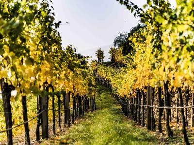 Weinrieden im Herbst
