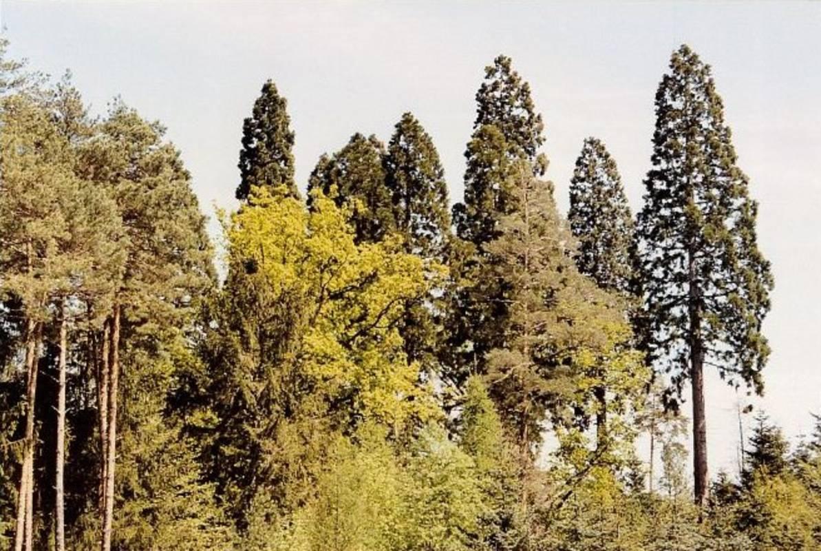 Mammutbäume in Paudorf