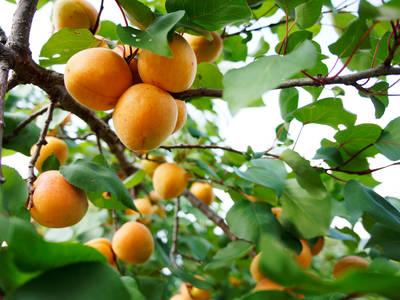 Reife Marillen am Baum