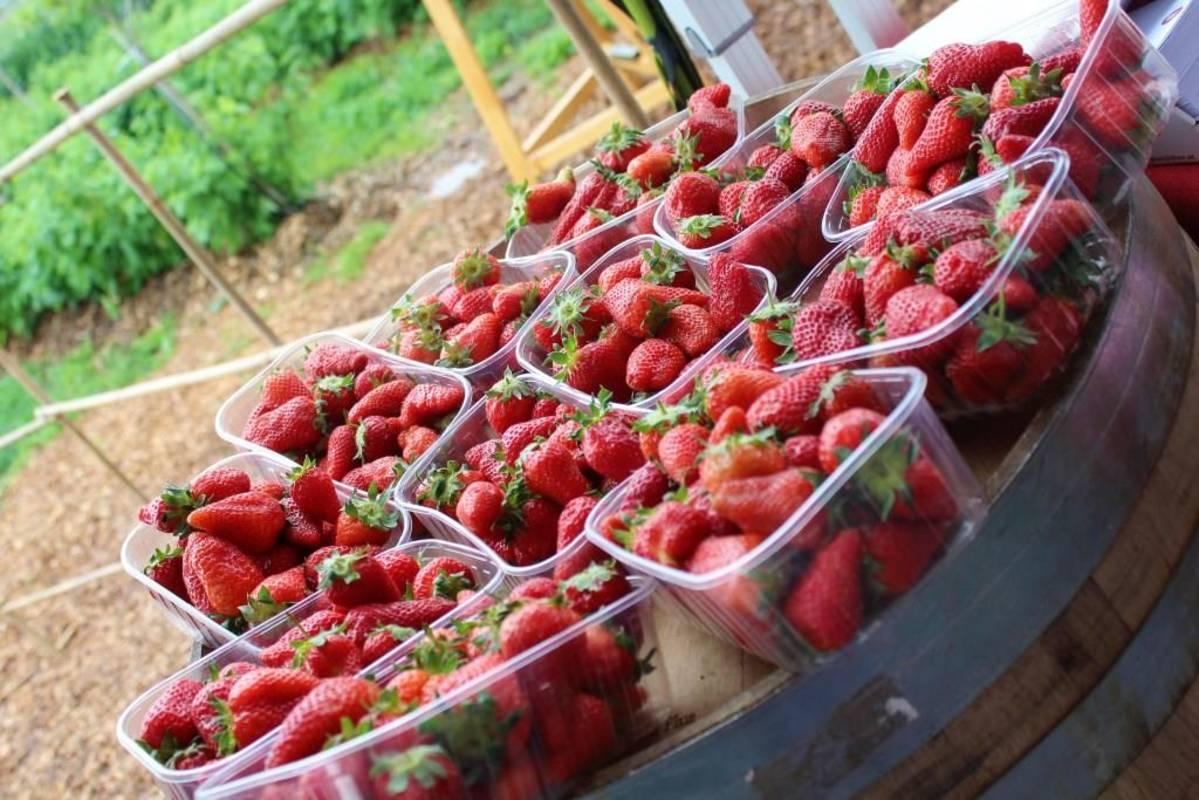 Frisch geerntete Erdbeeren