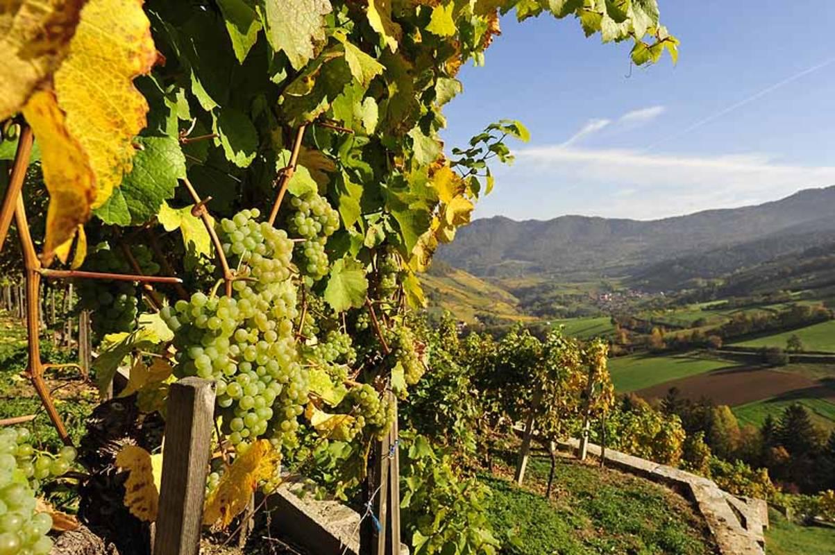 Wein Wachau Herbst