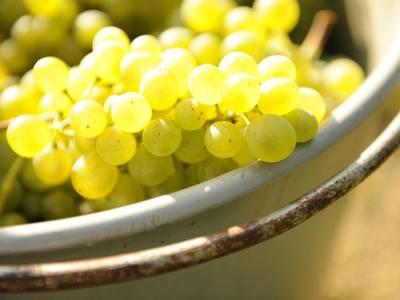 Gereifte Weißweintrauben in der Schale