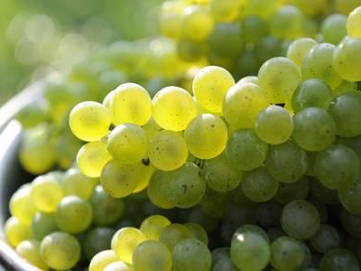 Grüne Weinrauben