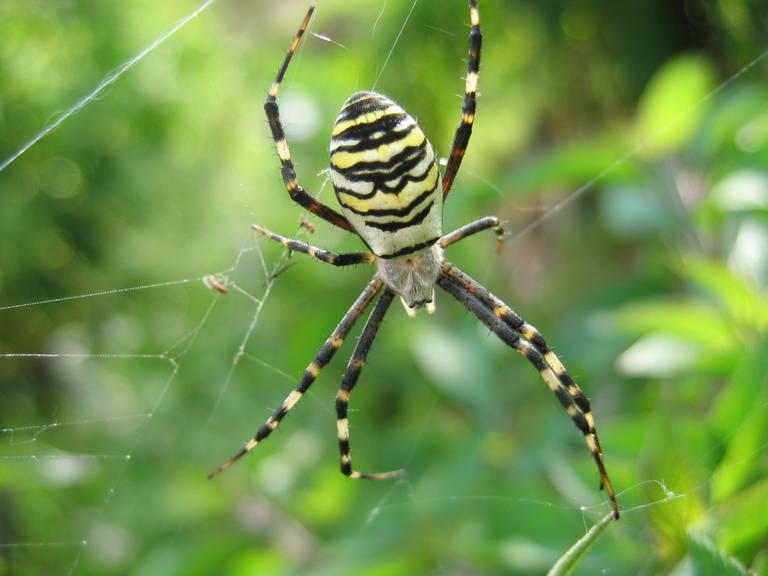 Spinne, Argiope, Nationalpark Donau-Auen